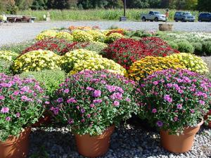 Mums...all sizes for your fall arrangements!