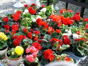 Begonia's are easy to re-pot